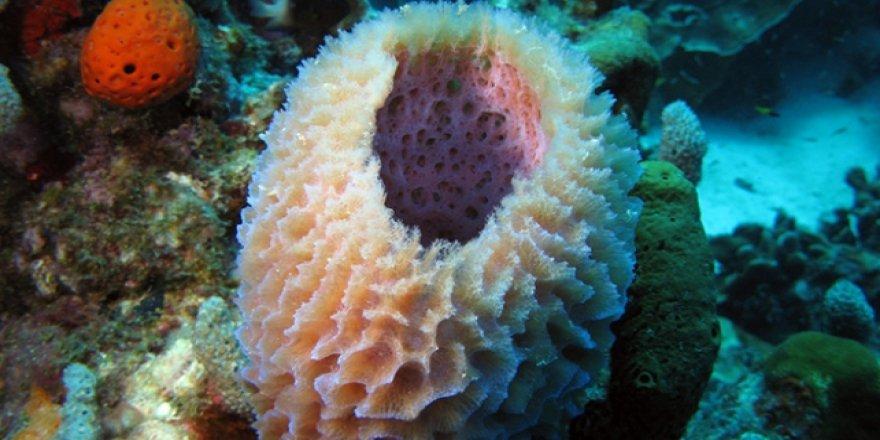 Deniz süngerinden kanser ilacı üretilecek
