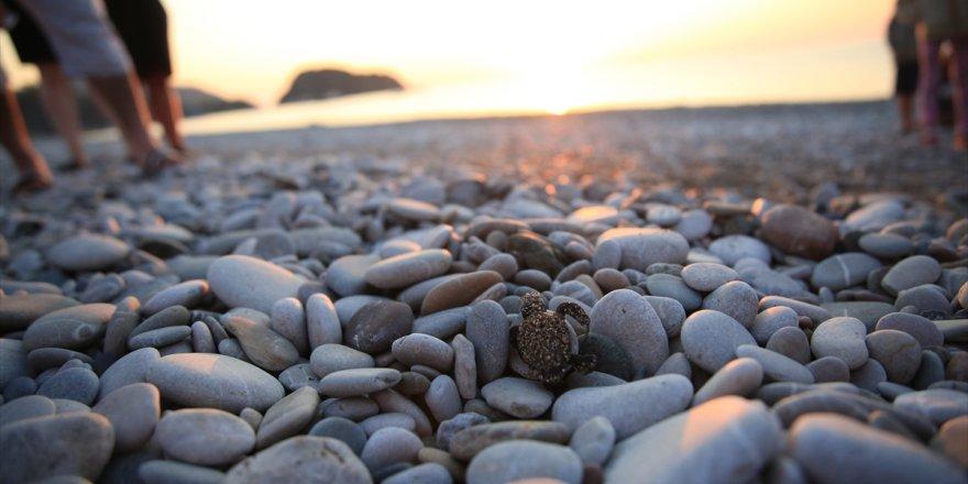 Kabuğunu kıran caretta carettalar denizle buluştu