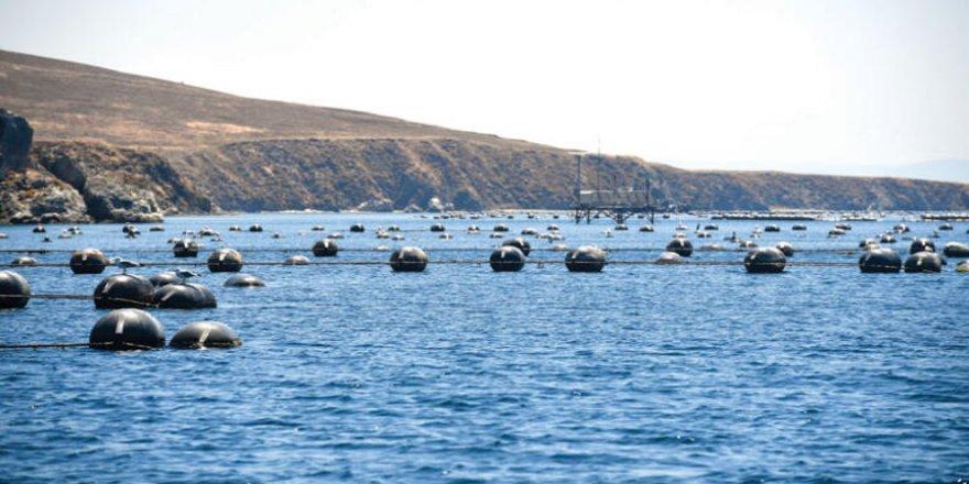 Marmara Adası'nda midye çiftliği isyanı