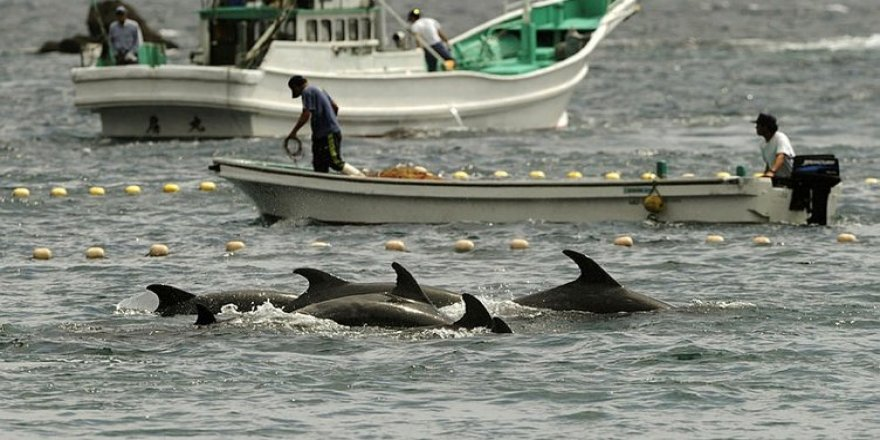 Japonya'da 1700 yunus öldürülecek!