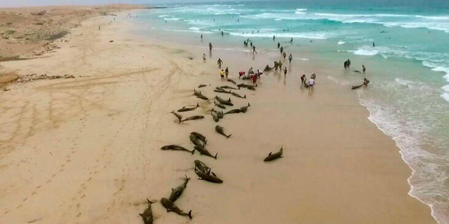 Yeşil Burun kıyılarına yüzlerce yunus vurdu!