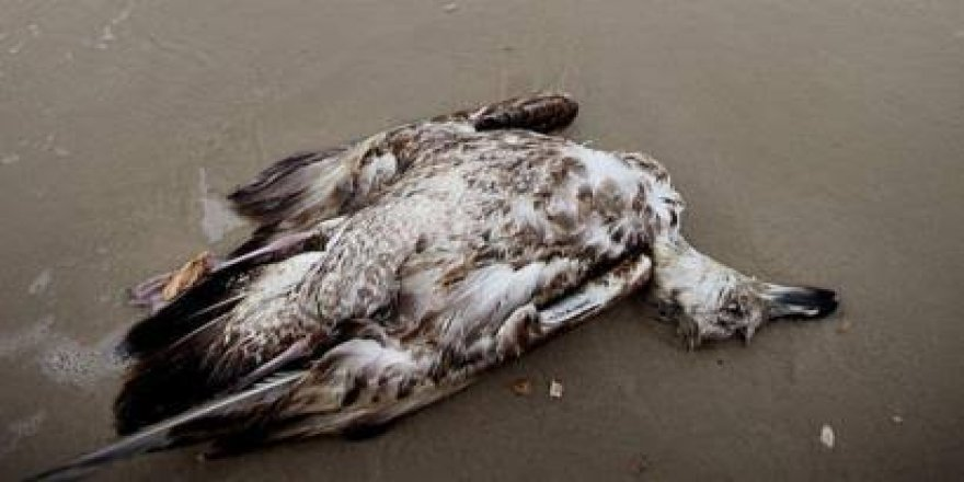 Okyanustaki su kütlesi bir milyon kuşun ölümüne neden oldu