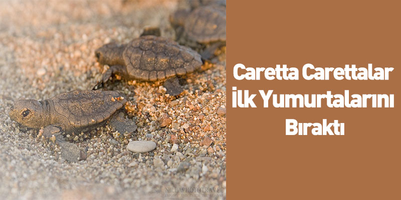 Caretta Carettalar İlk Yumurtalarını Bıraktı