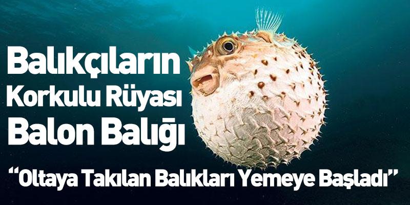 Balıkçıların Korkulu Rüyası Balon Balığı