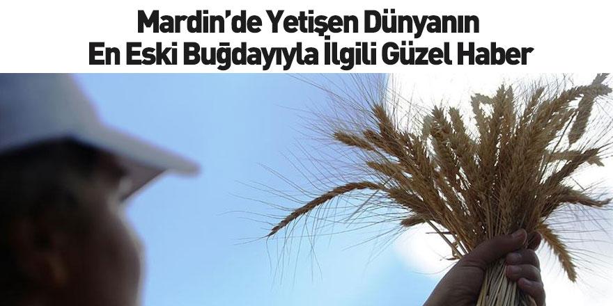 Dünyanın En Eski Buğdayıyla İlgili Güzel Haber