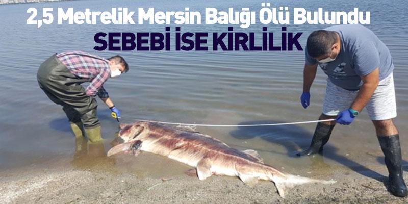 2,5 Metrelik Mersin Balığı Ölü Bulundu
