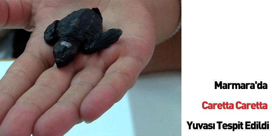 Marmara'da Caretta Caretta Yuvası Tespit Edildi