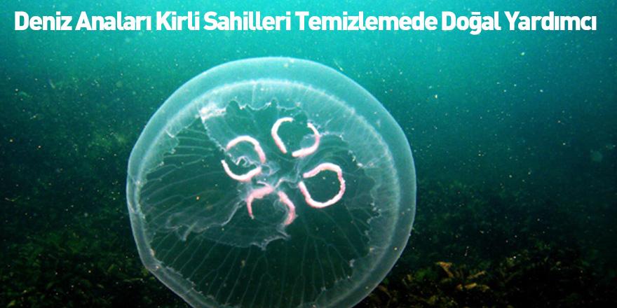 Deniz Anaları Kirli Sahilleri Temizlemede Doğal Yardımcı