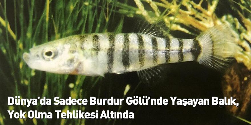 Dünya'da Sadece Burdur Gölü'nde Yaşayan Balık, Yok Olma Tehlikesi Altında