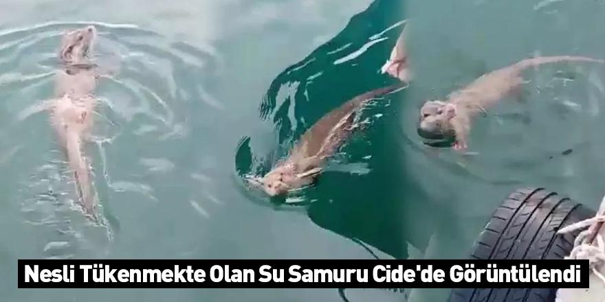 Nesli Tükenmekte Olan Su Samuru Cide'de Görüntülendi