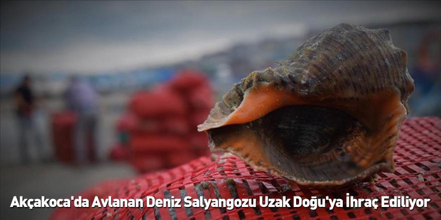 Akçakoca'da Avlanan Deniz Salyangozu Uzak Doğu'ya İhraç Ediliyor