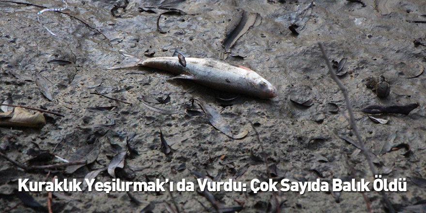 Kuraklık Yeşilırmak'ı da Vurdu: Çok Sayıda Balık Öldü