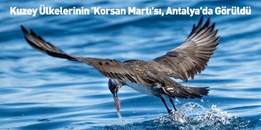 Kuzey Ülkelerinin 'Korsan Martı'sı, Antalya'da Görüldü