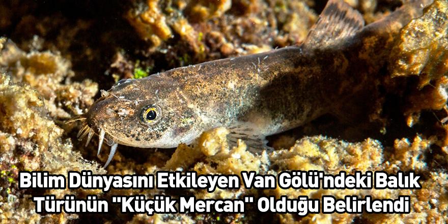 """Bilim Dünyasını Etkileyen Van Gölü'ndeki Balık Türünün """"Küçük Mercan"""" Olduğu Belirlendi"""