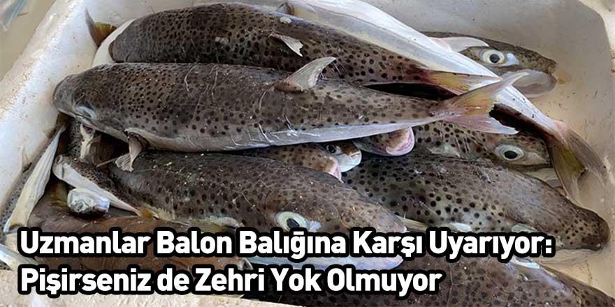 Uzmanlar Balon Balığına Karşı Uyarıyor: Pişirseniz de Zehri Yok Olmuyor