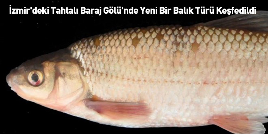 İzmir'deki Tahtalı Baraj Gölü'nde Yeni Bir Balık Türü Keşfedildi