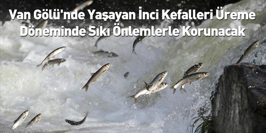 Van Gölü'nde Yaşayan İnci Kefalleri Üreme Döneminde Sıkı Önlemlerle Korunacak