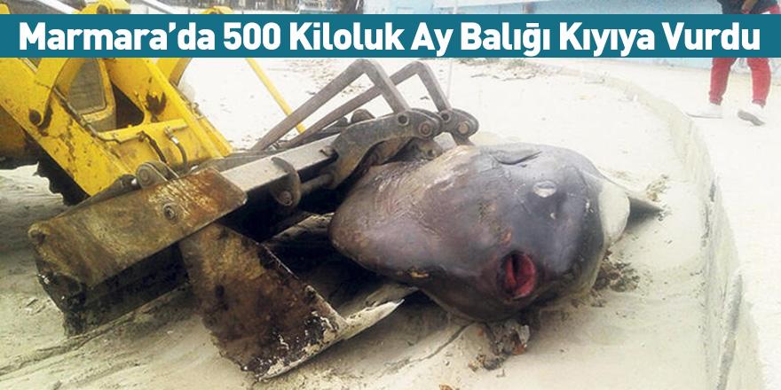 Marmara'da 500 Kiloluk Ay Balığı Kıyıya Vurdu