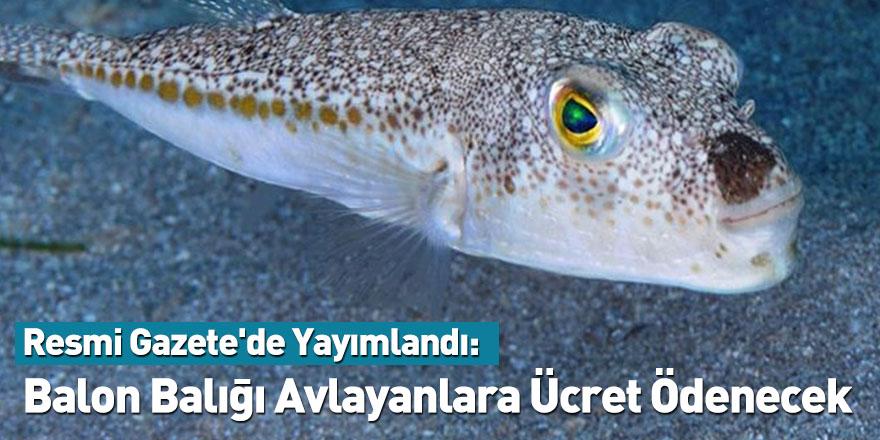Resmi Gazete'de Yayımlandı: Balon Balığı Avlayanlara Ücret Ödenecek