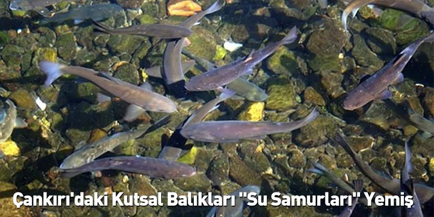 Çankırı'daki Kutsal Balıkları ''Su Samurları'' Yemiş