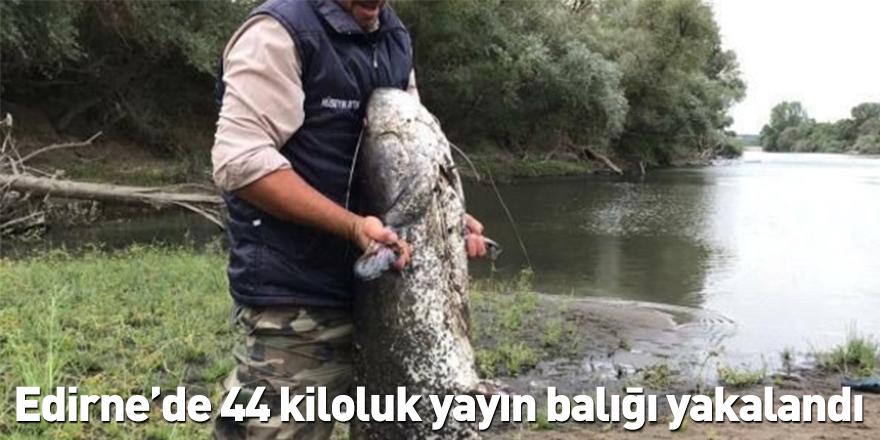 Edirne'de 44 kiloluk yayın balığı yakalandı