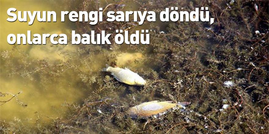 Suyun rengi sarıya döndü, onlarca balık öldü