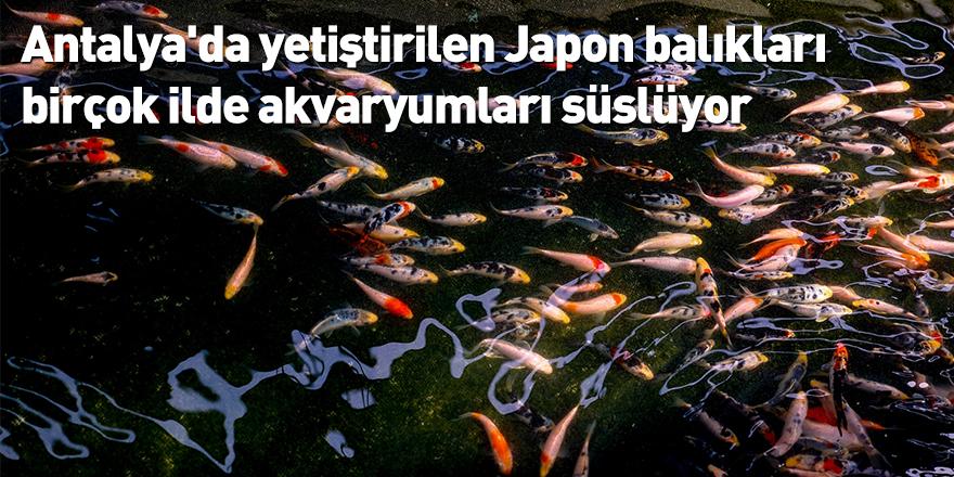 Antalya'da yetiştirilen Japon balıkları birçok ilde akvaryumları süslüyor