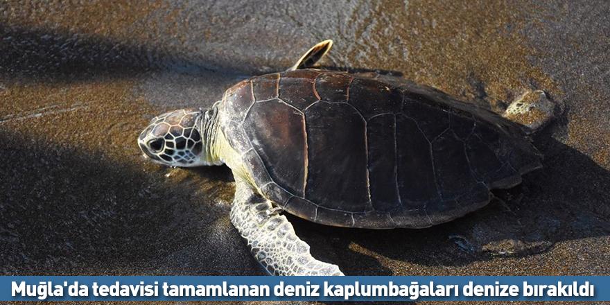 Muğla'da tedavisi tamamlanan deniz kaplumbağaları denize bırakıldı!
