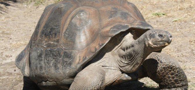 Dev kaplumbağalar hayata döndü