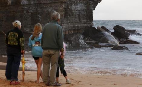 Plaj kapattıran balina