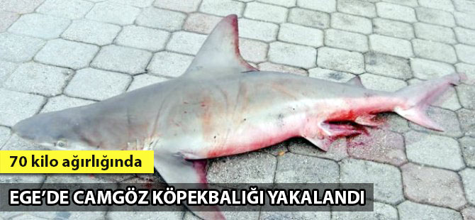 Fethiye'de 2 metre uzunluğunda camgöz köpekbalığı yakalandı