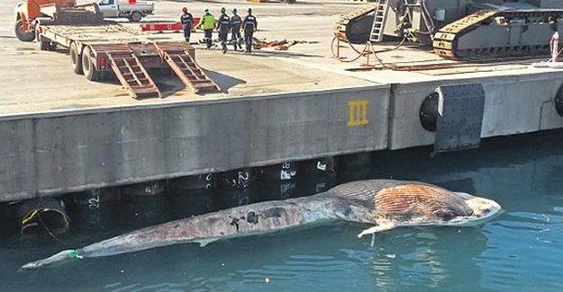 Süt emen balina açlıktan ölmüş