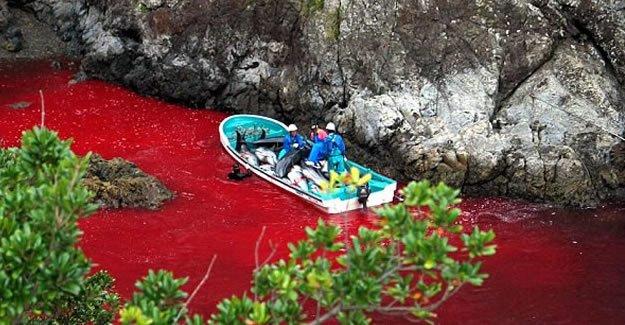 'Geleneksel balina katliamı'