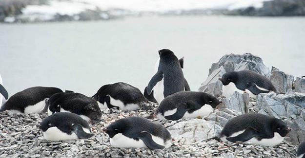 150 bin penguen buzdağı kurbanı