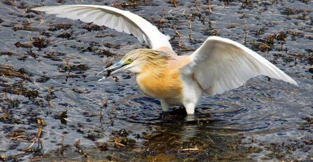 Manyas Gölü'nde tehlike çanları çalıyor