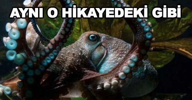 Kara ahtapot akvaryumdan kaçtı