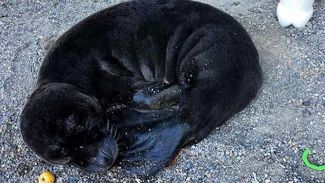 Sahilde yavru Akdeniz foku bulundu