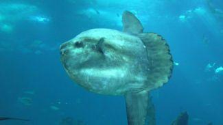 "Marmaris'te turistlere ""ay balığı"" sürprizi"