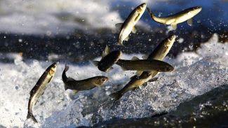 """""""Balık Geçitleri ve Göçleri Çalıştayı"""" düzenleniyor"""