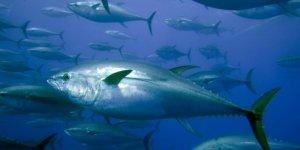 İki balık türünün av yasağına düzenleme