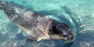 Akdeniz foklarının soyunu kuruttuk
