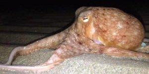 Galler'de onlarca ahtapot sahile çıktı