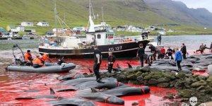Danimarka'da geleneksel(!) balina katliamı