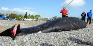 Antalya sahilinde bulunan ölü balinada yara izleri