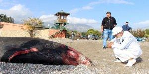 Kıyıya vuran ölü balina 1,5 yıl sonra sergilenecek