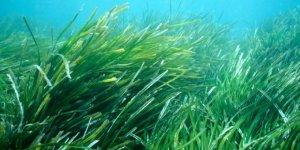 Deniz çayırları için bilimsel araştırma
