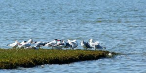 Deniz kuşlarının türü tehlike altında