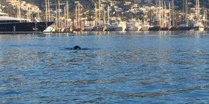 Bodrum Limanı'nda Akdeniz Foku görüntülendi