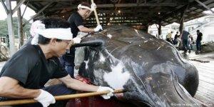Japonya'ya 'balina avcılığı' için 12 ülkeden kınama