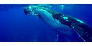 Balina kendisini inceleyen biyologun hayatını kurtardı